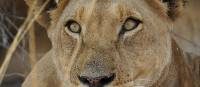 Up close and personal with Lions on the Central Kalahari Game Reserve | Ashley Hewson