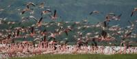 Flamingos at Lake Nakuru | Sue Badyari