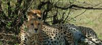 Cheetahs rest in the shade at the Masai Mara Game Park | Sue Badyari