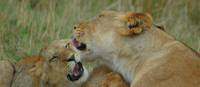 Lioness with cubs in the Masai Mara | Sue Badyari