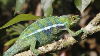 The intriguing chameleon | Ian Williams