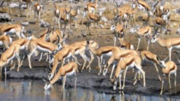 Large pack of Thomson Gazelle down by the waterhole | Gesine Cheung