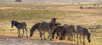 Zebras at Etosha National Park | Peter Walton