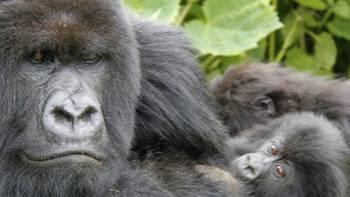 Up close and personal with the Gorillas in Rwanda | Ian Williams