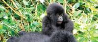 Young mountain gorilla looking rather excited | Gesine Cheung