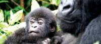 Infant mountain Gorilla resting in her mothers arms | Gesine Cheung