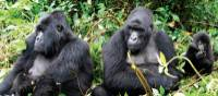 Family of mountain gorillas enjoying the sunshine | Gesine Cheung