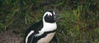 African Penguins are found near Simon' Town a short drive from Cape Town | Carolina De Figueiredo