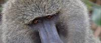 Up close with a baboon in the Serengeti National Park | Peter Brooke