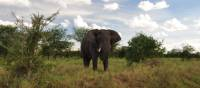 A large Serengeti elephant | Kylie Turner
