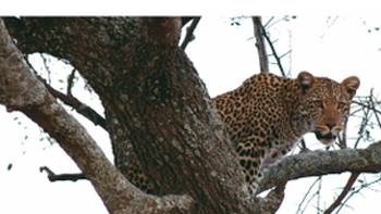 The ever elusive leopard | Pat Collins