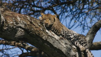 A Leopard retreats up a tree | Lynne A Challinor