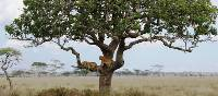 Lounging lions in the trees of the Serengeti plains | Gesine Cheung