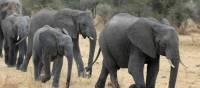 Elephant family wandering Tarangire's open plains | Kyle Super