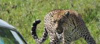 Close encounter with a leopard in the Serengeti | Brooke Taylor