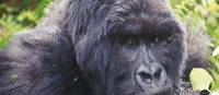 Up close and personal with a Silverback Gorilla in Bwindi National Park | Tina van Pelt