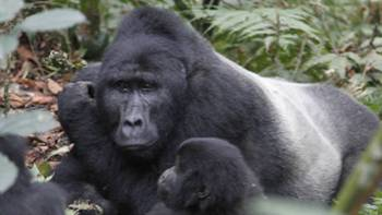 Gorilla family take a rest in Bwindi National Park | Ian Williams