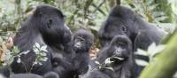 A gorilla family go about their business in Bwindi National Park | Ian Williams