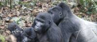 A family of gorilla's in Bwindi National Park | Ian Williams