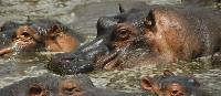 The Kazinga Channel is home to the largest population of hippopotamus than in any other part of Africa