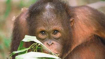 An orangutan in Sepilok | David Kirkland