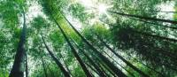 There are over 1,000 species of bamboo, some of which can grow as much as a metre a day