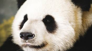 Giant pandas live in a few mountain ranges in central China, in Sichuan, Shaanxi, and Gansu provinces, at elevations between 5,000 and 10,000 feet