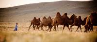 A young Mongolian boy herds Bactrian camels | Cam Cope