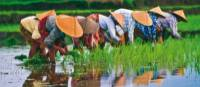 Rice planting in Vietnam