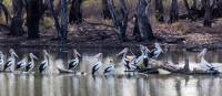 Pelicans bathing along the Murray River