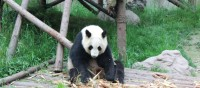 Visiting the Panda research centre in Chengdu | Alana Johnstone
