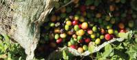 Coffee is the major crop of Costa Rica | Michele Eckersley