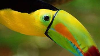 The colourful toucan is an icon of South and Central America