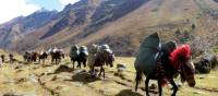 Pack horses carrying camp equipment through Jigme Dorje National Park | Gavin Turner