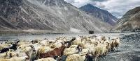 A herd of goats walk through the valleys of Ladakh