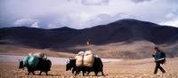 A yak herder and his yaks make their way through fields in Tibet | Jamie Williams