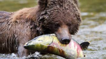 Grizzly Bear enjoying a juicy salmon for dinner | Tom Rivest