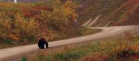 Wild Grizzly walking the local roads | Jake Hutchins