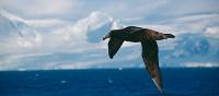 A giant petrel soars alongside a boat in Antarctica | Eve Ollington