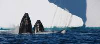 Humpback Whales off the coast of Cuverville Island, Antarctica | Elaine Clueit
