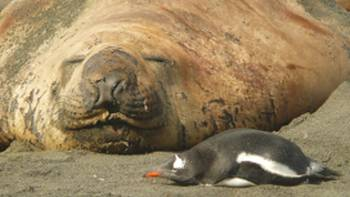 Elephant Seal and Gentoo penguin cordially sharing some common ground at Gold Harbour in South Georgia | Alan Levy