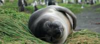 Sleepy elephant seal pup lounging in the grass | Rachel Imber