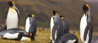 King Penguins live in large colonies on South Georgia | Peter Walton