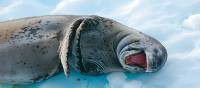 A leopard seal sees the funny side of life! | Eve Ollington