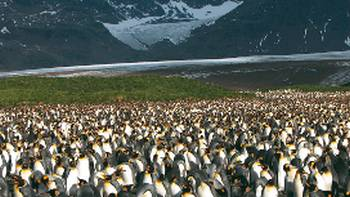 Large King Penguin colony, Salisbury Plain, South Georgia | Diana Watts