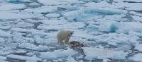 Polar bear finds a meal on the pack ice | Kathy Kostos