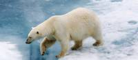 The Polar Bear is native to the Arctic | Bob Muirhead