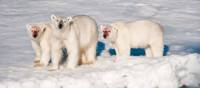 A family of polar bears after feeding | Sue Josephsen