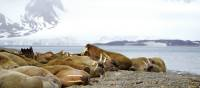 Exploring the Walrus colony at Sarstangen | Gesine Cheung