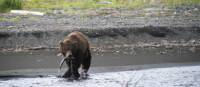 A Kamchatka brown bear has some success out fishing | ©MKelly
